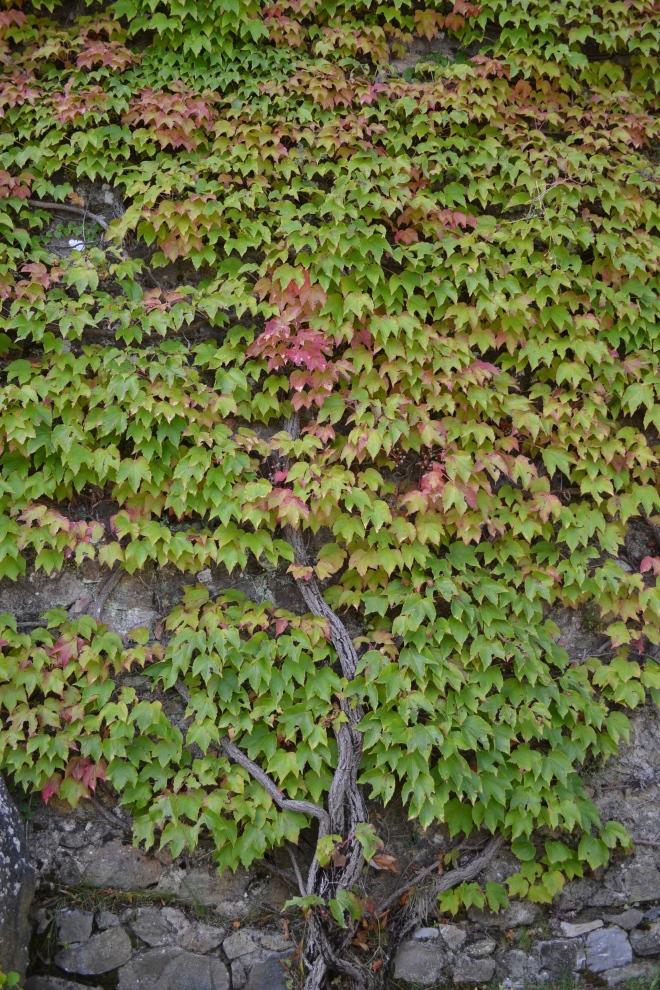 foliage in tuscany, montepulciano, italy